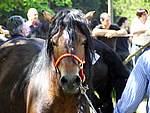 Foto Mostra Cavallo Bardigiano 2007 Mostra Cavallo Bardigiano 2007 005