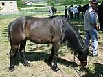 Foto Mostra Cavallo Bardigiano 2007 Mostra Cavallo Bardigiano 2007 017