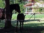 Foto Mostra Cavallo Bardigiano 2007 Mostra Cavallo Bardigiano 2007 025