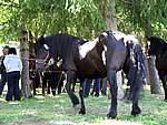 Foto Mostra Cavallo Bardigiano 2007 Mostra Cavallo Bardigiano 2007 031