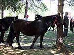 Foto Mostra Cavallo Bardigiano 2007 Mostra Cavallo Bardigiano 2007 032