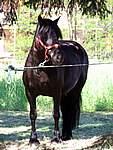 Foto Mostra Cavallo Bardigiano 2007 Mostra Cavallo Bardigiano 2007 038