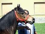 Foto Mostra Cavallo Bardigiano 2007 Mostra Cavallo Bardigiano 2007 050