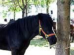 Foto Mostra Cavallo Bardigiano 2007 Mostra Cavallo Bardigiano 2007 058