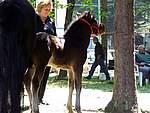 Foto Mostra Cavallo Bardigiano 2007 Mostra Cavallo Bardigiano 2007 060