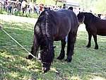 Foto Mostra Cavallo Bardigiano 2007 Mostra Cavallo Bardigiano 2007 067