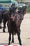 Foto Mostra Cavallo Bardigiano 2009 Cavallo_bardigiano_09_014
