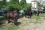 Foto Mostra Cavallo Bardigiano 2009 Cavallo_bardigiano_09_015