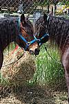 Foto Mostra Cavallo Bardigiano 2009 Cavallo_bardigiano_09_017