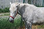 Foto Mostra Cavallo Bardigiano 2009 Cavallo_bardigiano_09_019