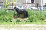 Foto Mostra Cavallo Bardigiano 2009 Cavallo_bardigiano_09_024
