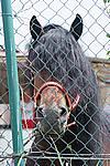 Foto Mostra Cavallo Bardigiano 2009 Cavallo_bardigiano_09_026