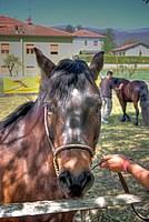 Foto Mostra Cavallo Bardigiano 2012 Cavallo_bardigiano_2012_004
