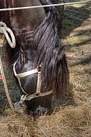 Foto Mostra Cavallo Bardigiano 2012 Cavallo_bardigiano_2012_016