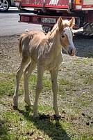 Foto Mostra Cavallo Bardigiano 2012 Cavallo_bardigiano_2012_017