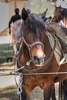Foto Mostra Cavallo Bardigiano 2012 Cavallo_bardigiano_2012_022