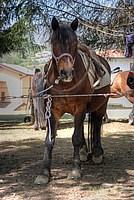 Foto Mostra Cavallo Bardigiano 2012 Cavallo_bardigiano_2012_024
