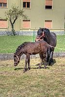 Foto Mostra Cavallo Bardigiano 2012 Cavallo_bardigiano_2012_027
