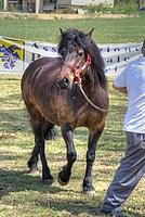 Foto Mostra Cavallo Bardigiano 2012 Cavallo_bardigiano_2012_029