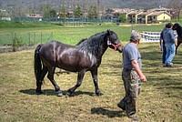 Foto Mostra Cavallo Bardigiano 2012 Cavallo_bardigiano_2012_031