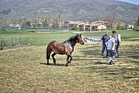 Foto Mostra Cavallo Bardigiano 2012 Cavallo_bardigiano_2012_033