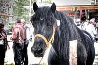 Foto Mostra Cavallo Bardigiano 2012 Cavallo_bardigiano_2012_035