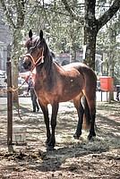 Foto Mostra Cavallo Bardigiano 2012 Cavallo_bardigiano_2012_036