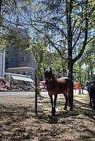 Foto Mostra Cavallo Bardigiano 2012 Cavallo_bardigiano_2012_037
