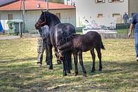 Foto Mostra Cavallo Bardigiano 2012 Cavallo_bardigiano_2012_042
